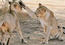 23 lions die at Gir sanctuary, SC seeks Centre and Gujarat govts to respond