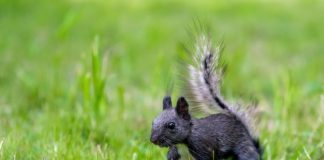 Scientists figured out why there are dim squirrels one day of the US – Fox News